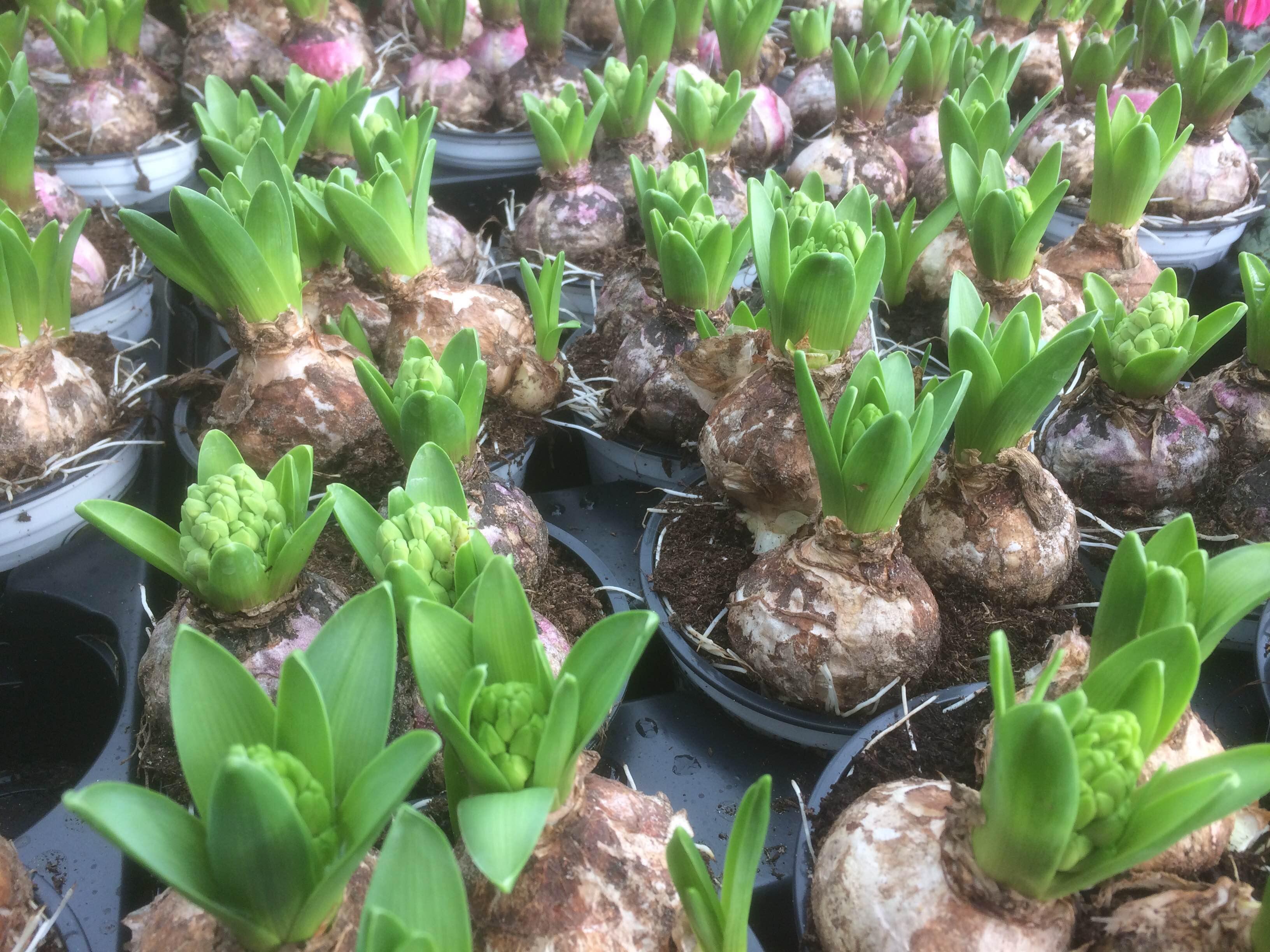 Hyacinth Bulbs – 3 For £10 Or £3.99 Each
