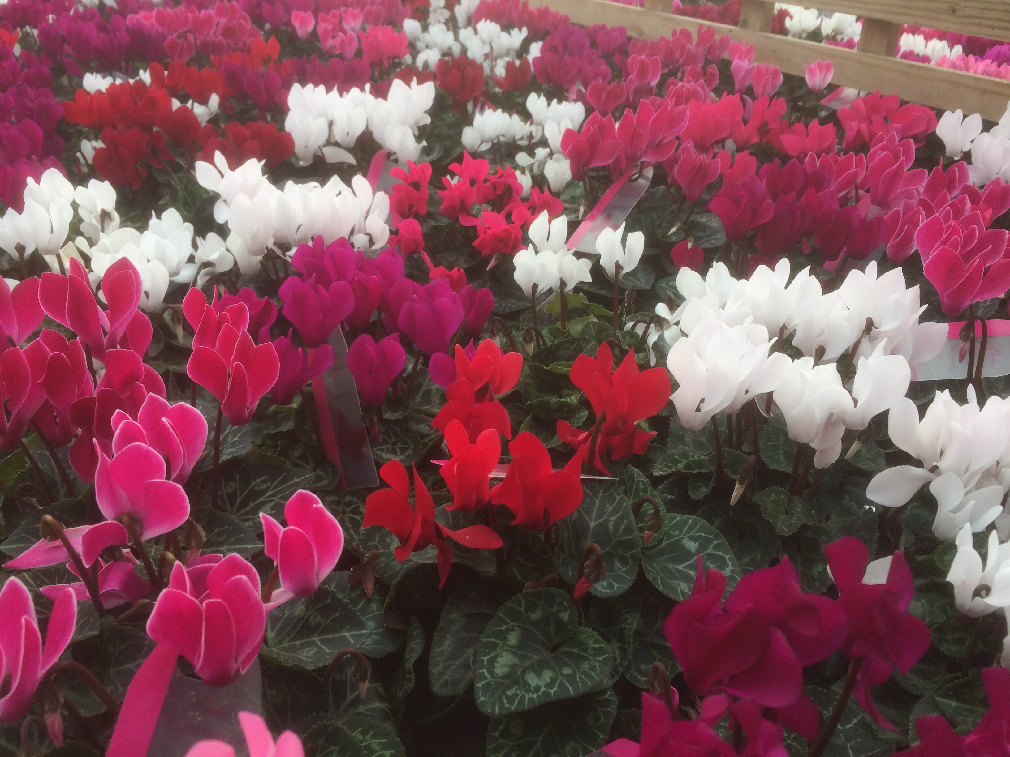 Outdoor Cyclamen – 4 For £10 Or £2.99 Each