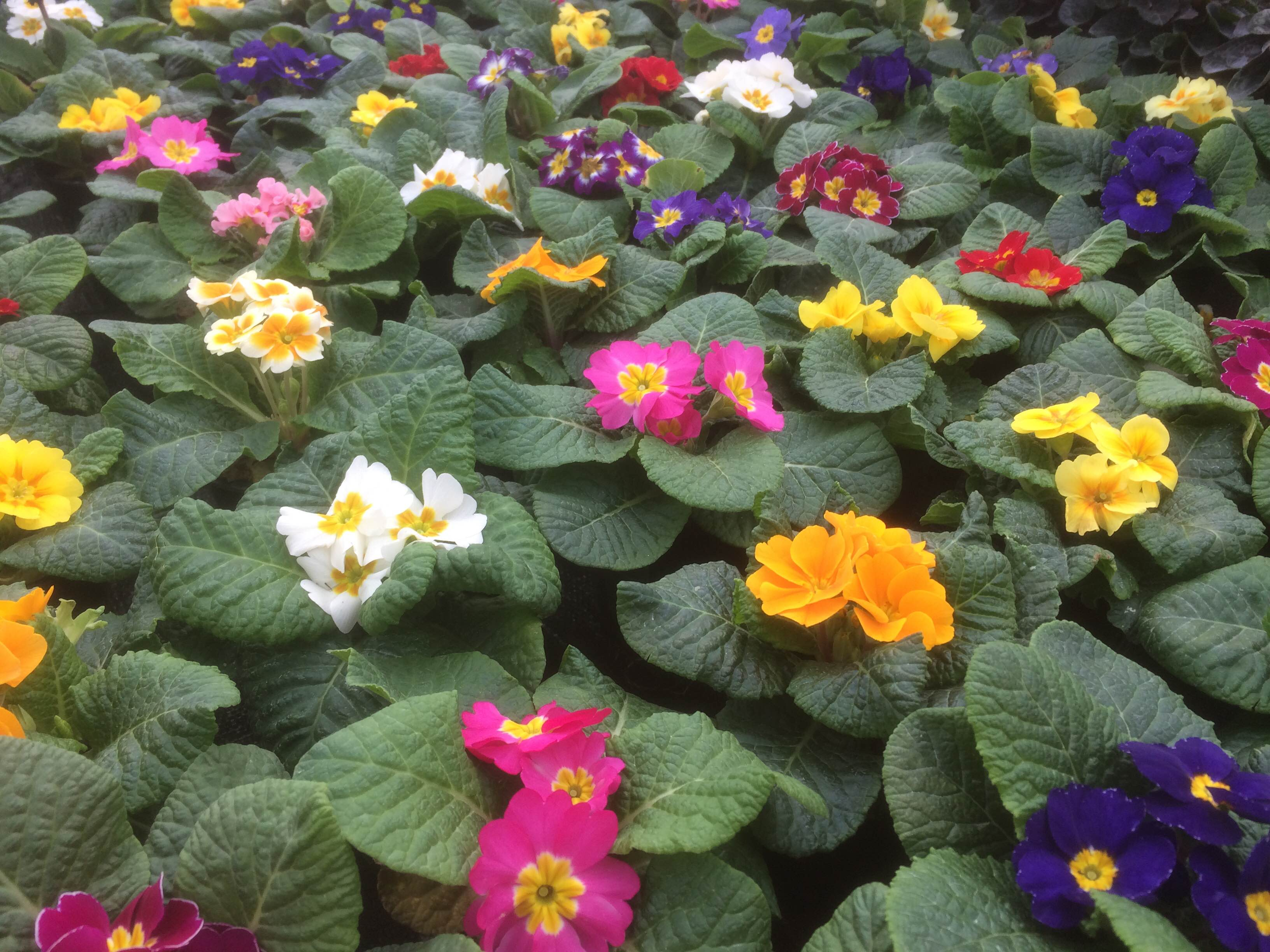 Primroses – 5 For £5 Or £1.25 Each