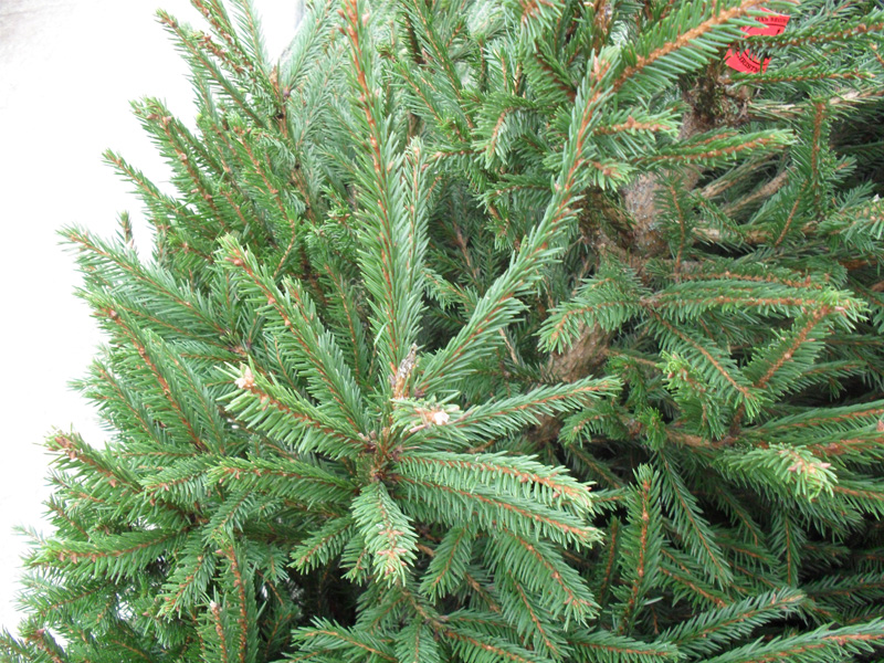Buy Real Christmas Trees In Leicester