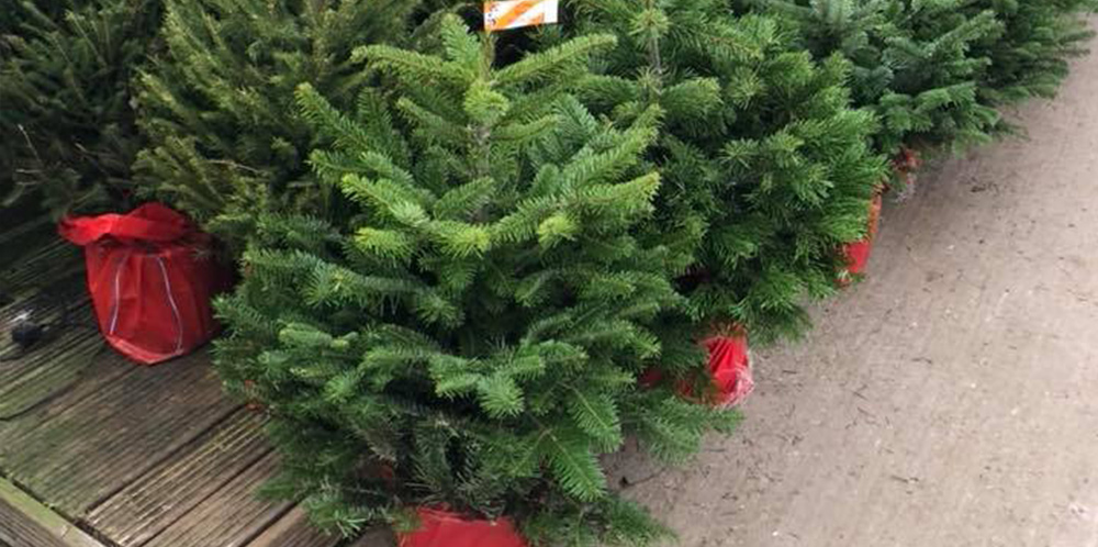 Potted Christmas Trees Available Too!